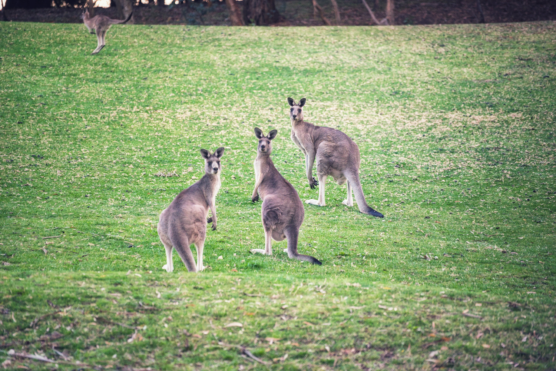 Kangaroos002
